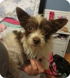 Yorkie, Yorkshire Terrier/Chihuahua Mix Puppy for adoption in Seattle, Washington - Cambell
