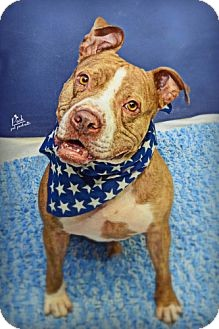 American Staffordshire Terrier/American Pit Bull Terrier Mix Dog for adoption in Houston, Texas - Marvel