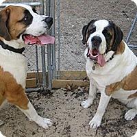 Adopt A Pet :: GOLIATH - ADOPTION PENDING - Sudbury, MA