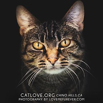 Domestic Shorthair Cat for adoption in Chino Hills, California - Lily