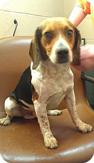 Beagle Dog for adoption in Greenville, Kentucky - Jude