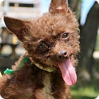 Adopt A Pet :: Chester~meet me~ - Glastonbury, CT