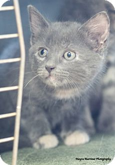 Domestic Shorthair Kitten for adoption in Marietta, Georgia - Asher