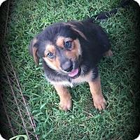 Adopt A Pet :: Panzer - Denver, NC