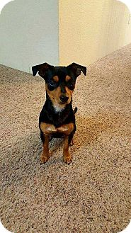 Chihuahua Mix Puppy for adoption in Tampa, Florida - Finnie