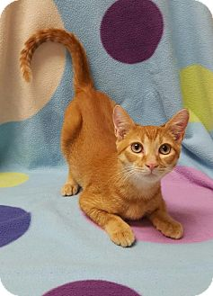 Abyssinian Cat for adoption in Hollywood, Maryland - Avanti