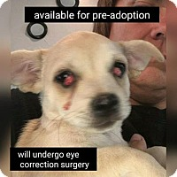 Chihuahua Dog for adoption in Mission, Kansas - Bagpipe