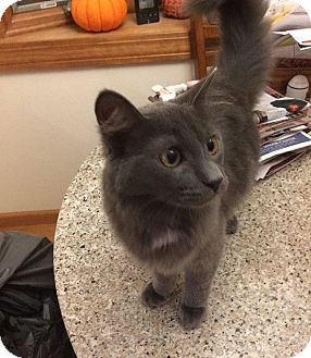Domestic Longhair Cat for adoption in Cleveland, Ohio - Nigel