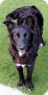 Border Collie Puppy for adoption in Highland, Illinois - Clover