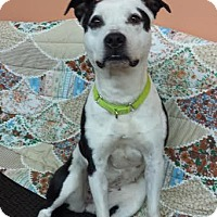 American Pit Bull Terrier Mix Dog for adoption in Warwick, Rhode Island - Meredith