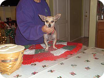 Chihuahua/Dachshund Mix Dog for adoption in San Antonio, Texas - Apple Jack