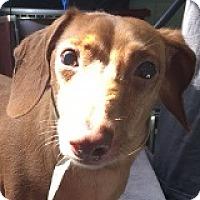 Adopt A Pet :: Apple Apex - Houston, TX