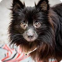 Adopt A Pet :: Bear - St. Petersburg, FL