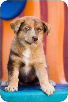 Pics For > Australian Shepherd Malamute Mix Puppy