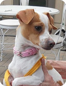 Jack Russell Terrier/Chihuahua Mix Dog for adoption in RENO, Nevada - DAISY - ADOPTED