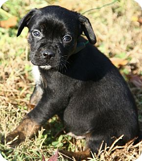 Pug Mix Puppy for adoption in Brattleboro, Vermont - Alfie
