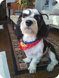 Basset Hound/Shih Tzu Mix Dog for adoption in Encino, California - MURPHT the Bass Tzu!