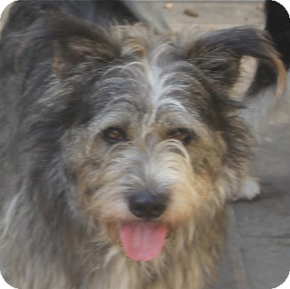 Schnauzer (Standard) Mix Dog for adoption in Norwalk, Connecticut - Finnegan - adoption pending
