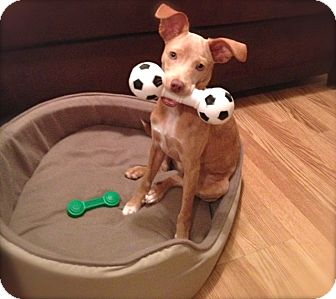 Miniature Whippet Dog