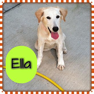 Golden Retriever/Labrador Retriever Mix Puppy for adoption in CHICAGO, Illinois - ELLA