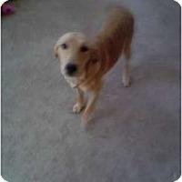 Adopt A Pet :: Sully - Denver, CO