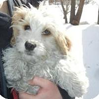 Adopt A Pet :: Bogart - Antioch, IL
