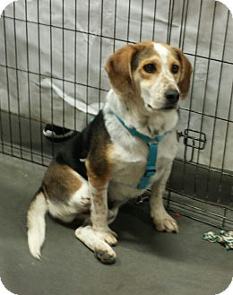 Beagle Dog for adoption in Alexis, North Carolina - Edward