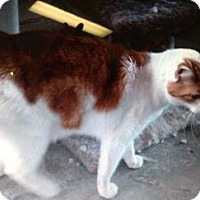 Adopt A Pet :: Brady - Temecula, CA