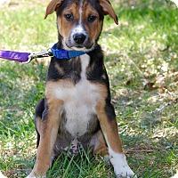 Adopt A Pet :: Peyton - New Oxford, PA