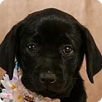 Adopt A Pet :: Cartoon Jem - Baltimore, MD