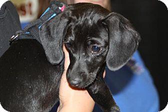 Dachshund Mix Puppy for adoption in Aurora, Colorado - Katie
