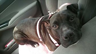 Pit Bull Terrier Mix Dog for adoption in Charlotte, North Carolina - Piggy