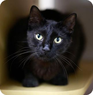 Domestic Shorthair Cat for adoption in Kettering, Ohio - Solstice
