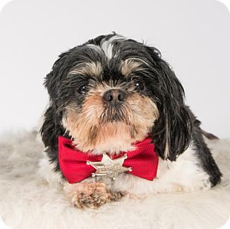 Shih Tzu Dog for adoption in St. Louis Park, Minnesota - Boyd