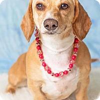 Adopt A Pet :: Maizie - Gilbert, AZ