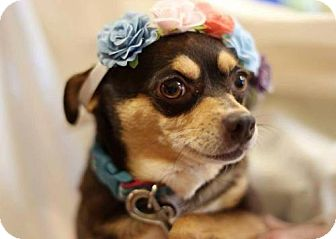 Chihuahua Mix Dog for adoption in Fort Worth, Texas - Tator