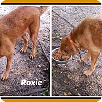 Golden Retriever/Labrador Retriever Mix Dog for adoption in Malvern, Arkansas - ROXIE