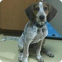 Adopt A Pet :: Cowboy - New Smyrna Beach, FL