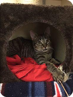 American Shorthair Kitten for adoption in New York, New York - Capellini