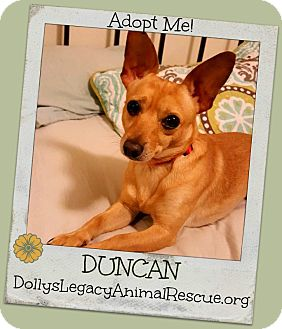 Miniature Pinscher/Chihuahua Mix Dog for adoption in Lincoln, Nebraska - DUNCAN