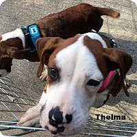 Boxer Dog for adoption in Wilmington, North Carolina - Thelma