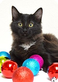 Domestic Mediumhair Kitten for adoption in Dublin, California - Diggs