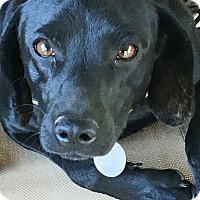 Adopt A Pet :: Lexie meet me 2/10 - Manchester, CT
