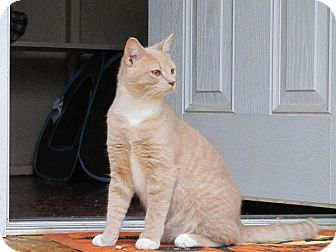 Domestic Shorthair Kitten for adoption in Bedford, Virginia - Ginger Kisses