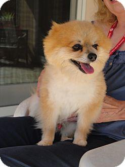 Pomeranian Dog for adoption in Santa Rosa, California - Joey