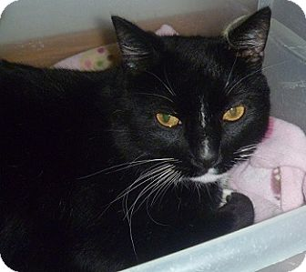 Domestic Shorthair Cat for adoption in Hamburg, New York - Mars
