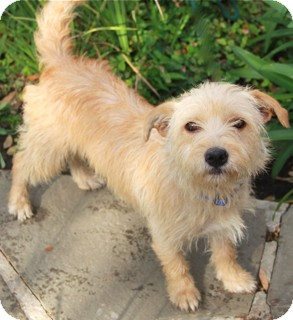 Fox Terrier (Wirehaired)/Cairn Terrier Mix Dog for adoption in Norwalk, Connecticut - Veronica - adoption pending