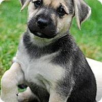 Adopt A Pet :: SHAY - Torrance, CA