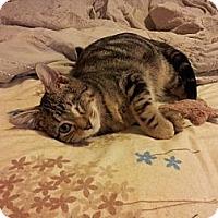 Adopt A Pet :: Odin - St. Louis, MO