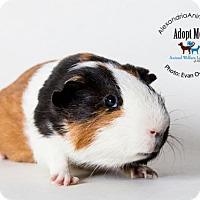 Adopt A Pet :: Sammy - Alexandria, VA